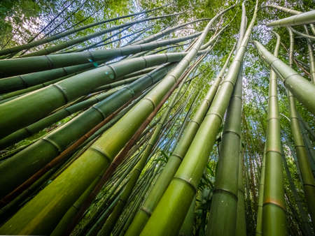 terra: Bamboo forest in The Terra Nostra Gardens in Furnas,  on Sao Miguel island, Azores, Portugal
