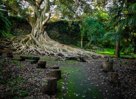 Giant roots of a tree in the José do Canto Botanical Garden in Ponta Delgada, Sao Miguel island, Azores, Portugal Stock Photo