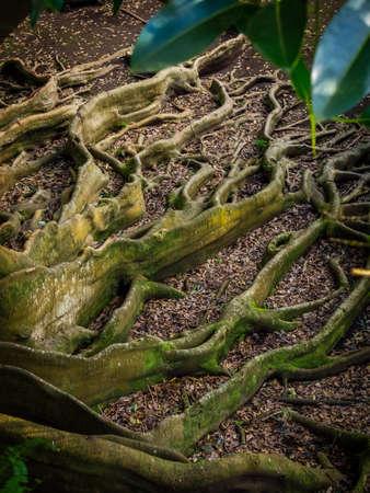 canto: Giant roots of a tree in the José do Canto Botanical Garden in Ponta Delgada, Sao Miguel island, Azores, Portugal Stock Photo