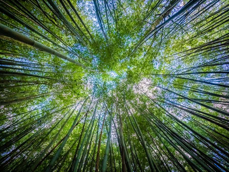 thick growth: Bamboo forest in Jos� do Canto Botanical Garden in Ponta Delgada, Sao Miguel island, Azores, Portugal