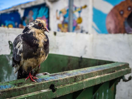 Pigeon walking on a wall in front of graffiti art on the wall of a home in Ponta Delgada, Azores, Portugal