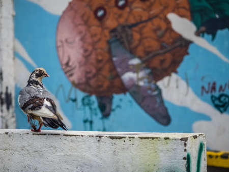 grungey: Pigeon walking on a wall in front of graffiti art on the wall of a home in Ponta Delgada, Azores, Portugal