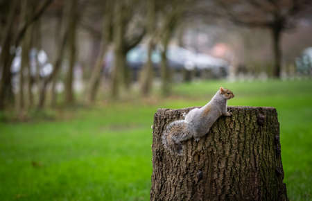 devouring: Close up of a grey squirrell climbing tree stump