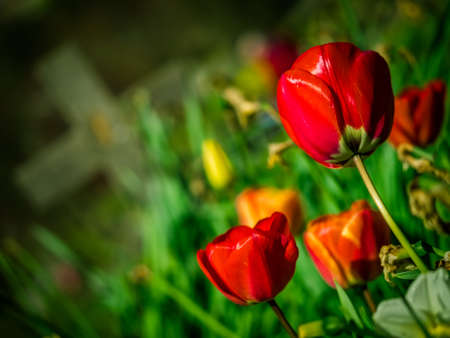 forgotten: Red tulips growing on the old forgotten grave in a cementery in England