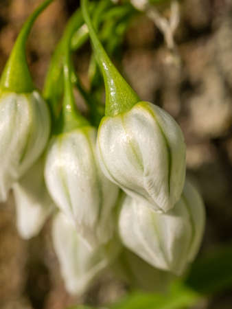 belongs: Small closed buds of a beautiful white campanula  blossoming in spring Stock Photo