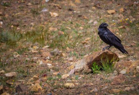 black raven: Black raven sitting on a rock in a Fuerteventura countryside, Canary Islands, Spain