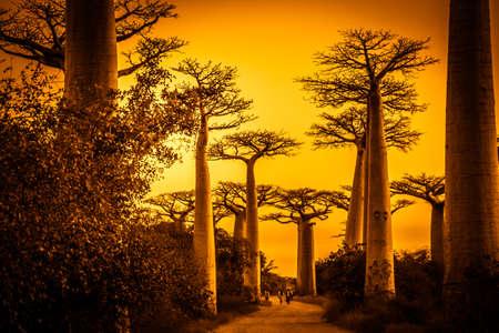 Sunset in the famous Avenida de Baobab near Morondava in Madagascar