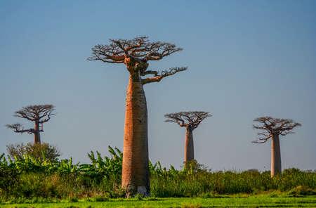 Group of baobabs near Morondava in Madagascar Stock Photo