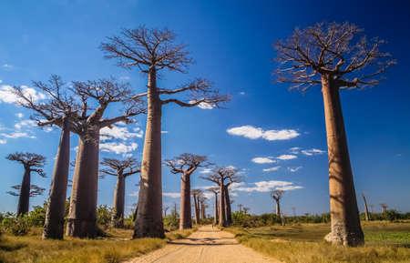 Famous Avenida de Baobab near Morondava in Madagascar Stock Photo