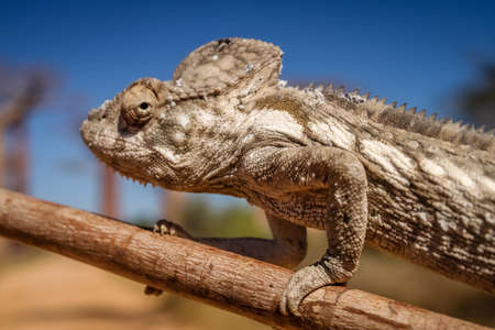 Small chameleon on a branch in Avenida de Baobab
