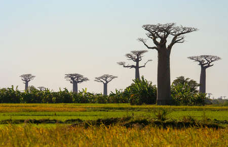 africa baobab tree: Group of baobabs near Morondava in Madagascar Stock Photo