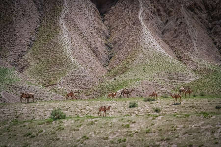 unaffected: Herd of camels grazing on a mountain slope in Western  Tibet