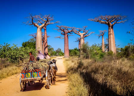 Malagasy family travelling on a zebu cart on the sandy road going through the Avenida the Baobab near Morondava in Madagascar. Picture taken in July 2010 in Western Madagascar