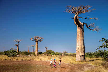 strenuous: Malagasy women carrying water in buckets on their heads in the Avenida the Baobab near Morondava, Madagascar. Picture taken in July 2010 in Western Madagascar