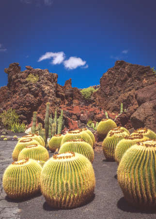 manrique: Large round cactuses in the Cactus Garden designed by Cesar Manrique, Lanzarote, Canary Islands, Spain