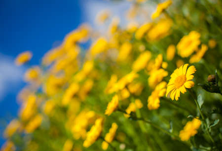luscious: Close-up of beautiful yellow aster wildflowers in a field in England Stock Photo