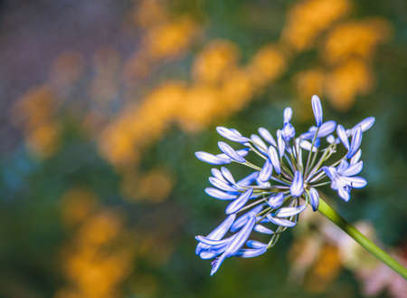 Close up of a beautiful blue Alium flower Stock Photo