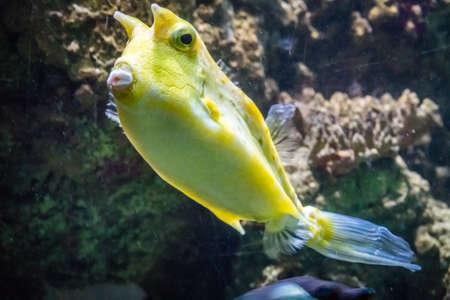 Tropical yellow fish swimming in an aquarium
