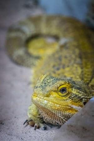 Bearded Dragon lizard looking throgh the cage window in a zoo Stock Photo