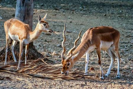 Blackbuck Antelopes in the zoo in Mysore, India