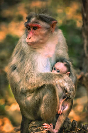 A wild macaque monkey family in a national park in India Stock Photo