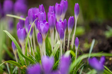 botanics: Purple Crocus and Snowdrops, Galanthus nivalis, spring, England