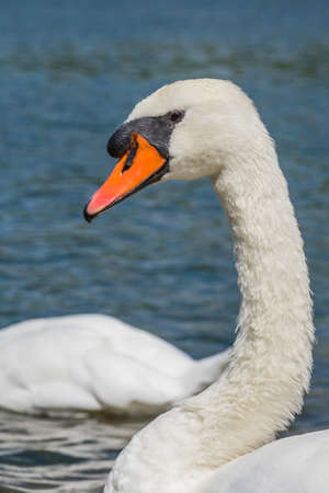 Beautiful large white swan close up image