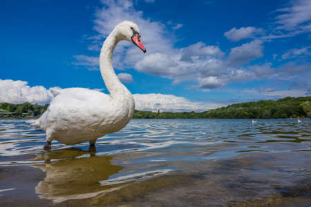 White swan standing proudly on a shore of a lake