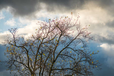 Leafless tree with the cloudy background photographed in late autumn