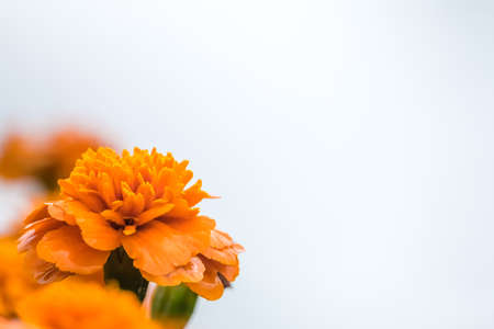Small orange marigold flower on a white background
