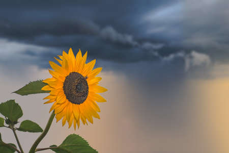 Beautiful yellow sunflower photographed on a stormy day
