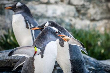Pequeños pingüinos lindos que recogen pequeños guijarros en un zoológico Foto de archivo