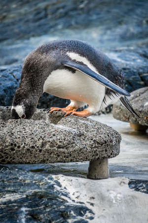 Small cute penguin standing on a stone and collecting  pebbles