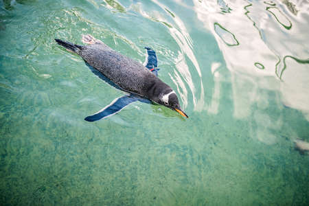 Small penguin swimming in water in a zoo Stock Photo