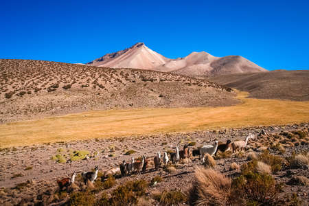 Herd of llamas grazing on the Altiplano mountain slopes in summer, Andes, Bolivia Stock Photo
