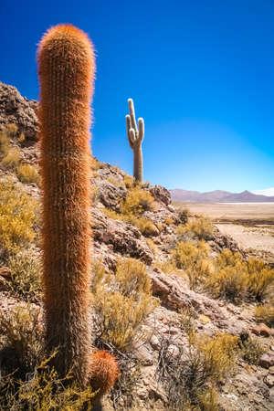 Single cactus growing on a pampa near Salar de Uyuni, Bolivia