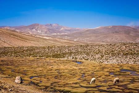 Sheeps grazing among the landscape of the high peruvian plateau, Peru, South America