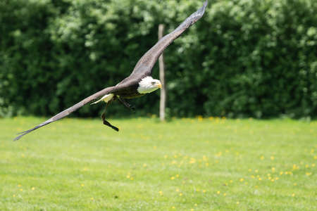 The majestic wingspan of a bald eagle flying low over the ground looking for prey Banco de Imagens