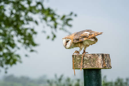 Barn Owl waiting on a stump during birds of prey show Stock Photo