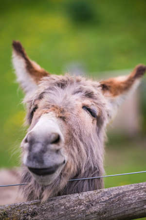 Closeup of a face of a furry donkey on a meadow on a farm in England countryside