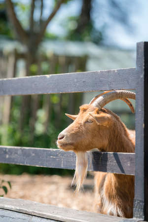Close up of goat head sticking its head through the wooden fence on the farm in England