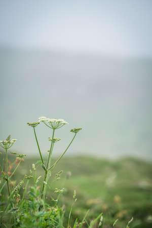 White wild garlic flower growing on the Cornish coast in summer, UK 版權商用圖片