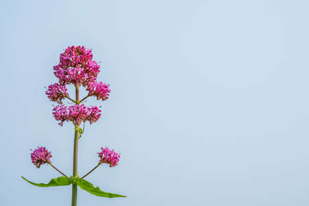 Pink flower with blue sky background photographed on a Cornish coast, Cornwall, UK