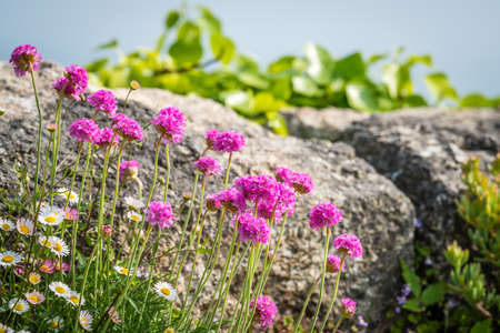 Cornish flower called Pink sea thrift growing on a rock outcrop, Lands End, Cornwall, UK Stock Photo