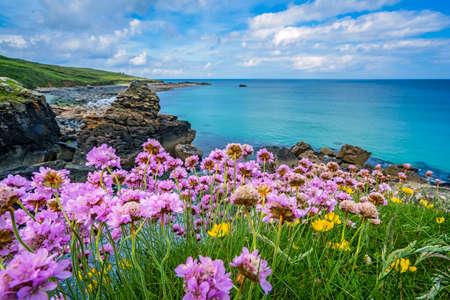 Pink sea thrift flowers on the stunningly beautiful coast in stock pink sea thrift flowers on the stunningly beautiful coast in st ives cornwall mightylinksfo