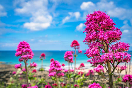 Pink flowers growing above St Ives premier golden Porthmeor beach, Cornwall, England, UK, Europe Stok Fotoğraf