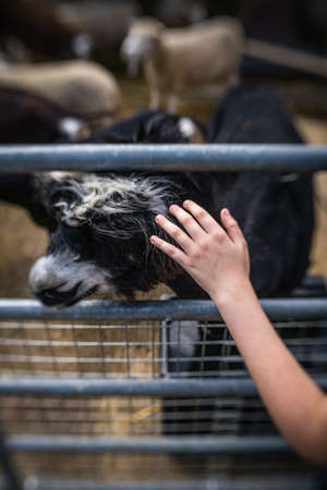 Child hand stroking the black and white goat head on the farm in England Stockfoto - 108872467