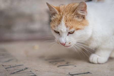 Portrait of a brown and white cat searching and hunting for food