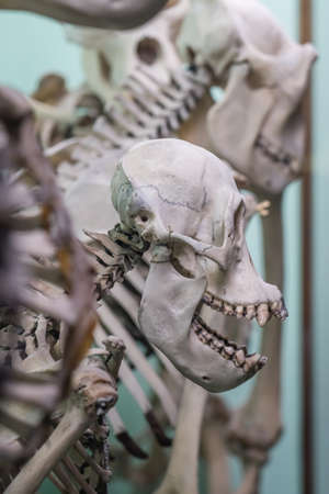 Human skull on a skeleton on display in a natural history museum Foto de archivo