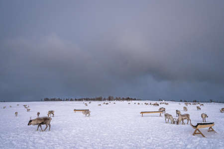 Herd of reindeers looking for food in snow, Tromso region, Northern Norway